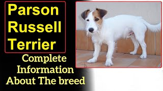 Parson Russell Terrier. Pros and Cons, Price, How to choose, Facts, Care, History