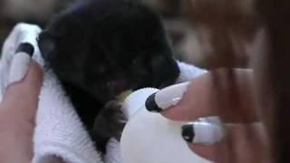 Во Флориде родился двухголовый черный котенок