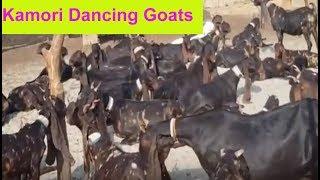 Kamori Goat farm Punjab Pakistan|Complete Documentary
