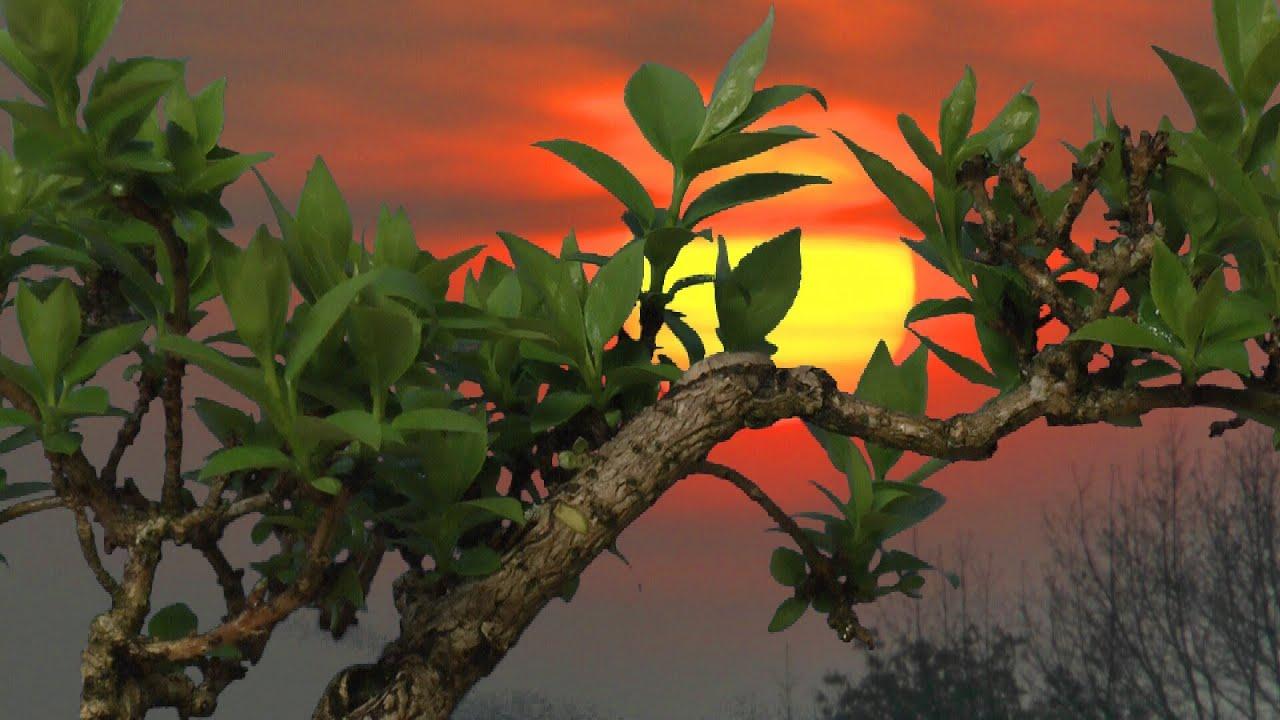 bonsai forsythia abmoosen schneiden pinzieren d ngen. Black Bedroom Furniture Sets. Home Design Ideas