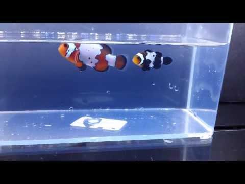Orange & Black Snowflake Clownfish Pair