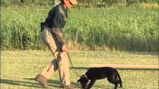 George Hickox Level 1 Labrador Retriever.