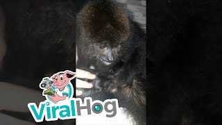 Howler Monkey Sees First Puppy || ViralHog
