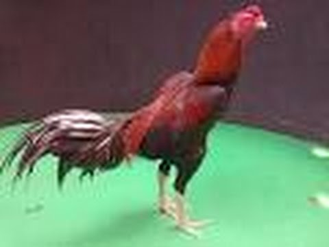 100 Gambar Ayam Aduan Super HD
