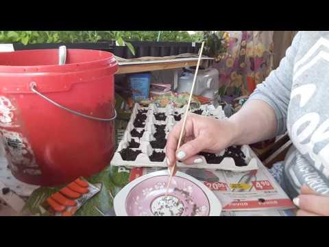 Вопрос: Как сажать морковь в подложку для яиц Зачем это делать?