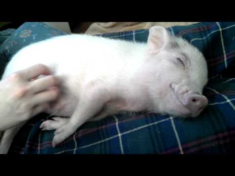 Lungrin mini pig gets his belly rubbed