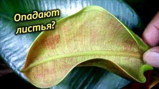 Почему Фикус сбрасывает листья? Как спасти фикус каучуконосный?