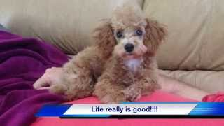 Red Toy Poodle For Sale - Michelines Pups Florida