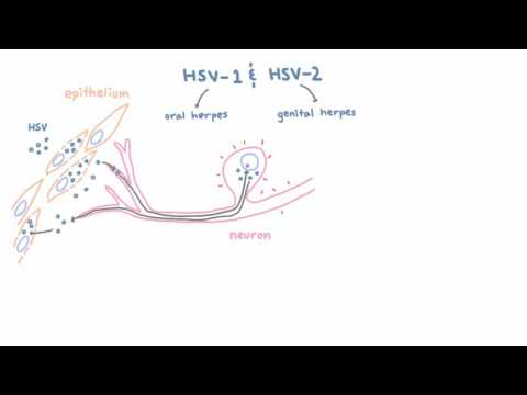 HSV 1 and 2 - Pathogenesis of Oral and Genital Herpes