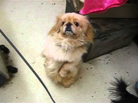 LKLs October Gold Pekingese,Pokie Begging March5