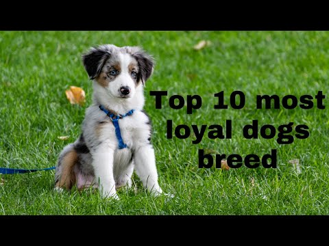 top-10-most-loyal-dog-breeds-in-the-world-in-2020-:-#3
