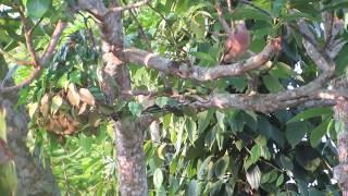 Bẫy Cu gáy mồi cây