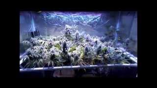 Pissdrunx0420 MarsHydro 144x5 Grow: Day 42 Flower
