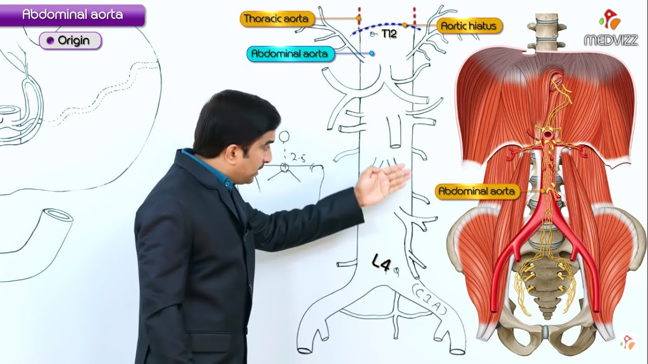 Abdominal Aorta Gross Anatomy Orign Course Branches Youtube
