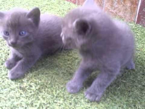 Gato ruso azul bebe