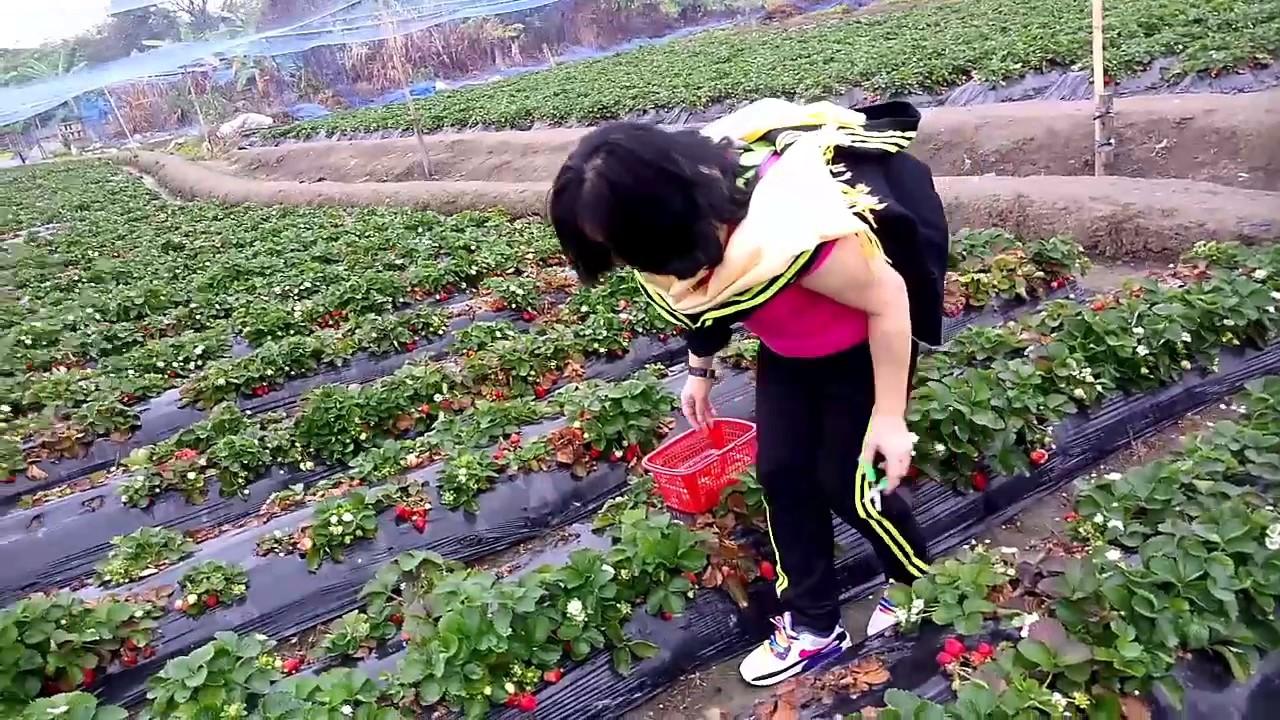 Kebun Strawberry Hong Kong