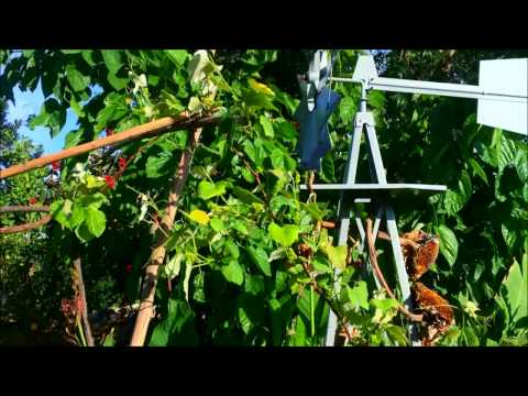 Growing Grapes in Phoenix, AZ - Red Flame, Monukka, Tannat and Concord