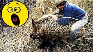 17 видео Охота на Кабана 2019. Подборка точных и не удачных выстрелов, атак и нападений кабана