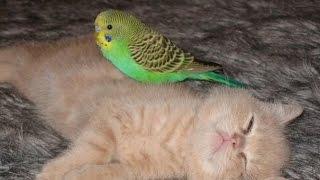 Животные! Юмор! Попугаи против котов