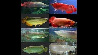 Jenis ikan Arwana dan harganya 2019