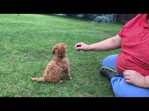 medium poodle pup training 8 weeks