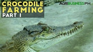 Crocodile Farming Part 1 : Crocodile Farming Industry in the Philippines | Agribusiness Philippines