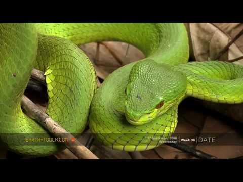 343bdb43caf white lipped pit viper(Cryptelytrops albolabris) - YouTube