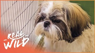 Abused Shih Tzu Gets Rescued | Dog Tales | Real Wild