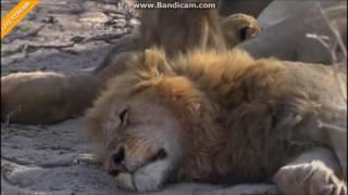Lwy Afryka Safari .......Tato kocham Cię