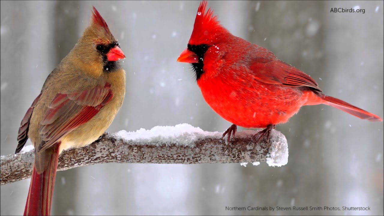 Northern Cardinal Song   YouTube Northern Cardinal Song  American Bird Conservancy