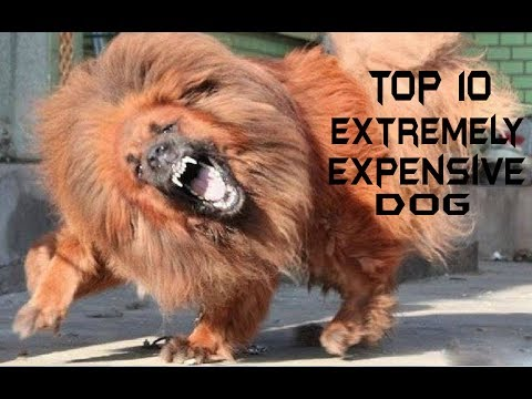 top-10-extremely-expensive-dog