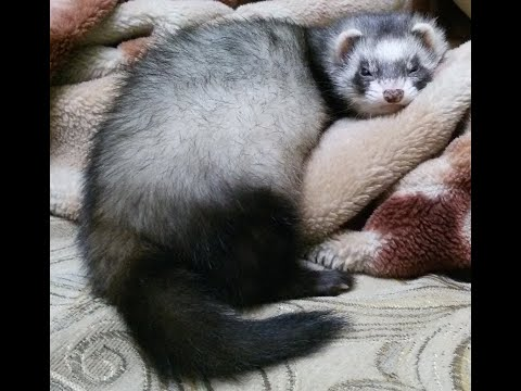Домик для хорька своими руками.House For A Ferret With Your Own Hands.