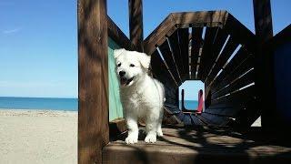 Собака ищет золото....мареммано-абруццкая овчарка...funny dog
