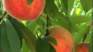 Şeftali Yetiştiriciliği - Şeftali Ağacının Budanması 2. Bölüm