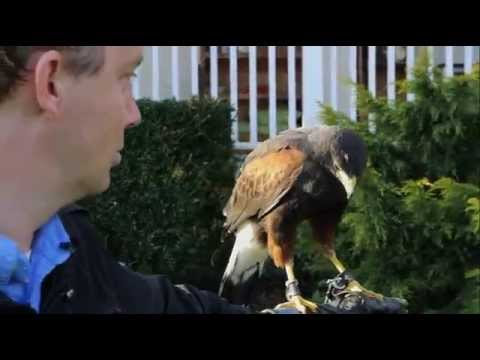 Falconry To Control Pest Birds (Featherstone Estate Winery)