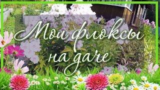 🌞 Цветок флокс белый / Цветет в августе 💐