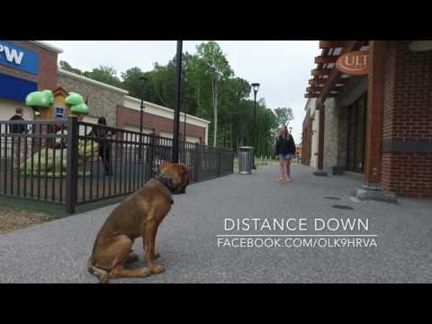 Labernard Puppy Moose Amazing Transformation Video!  Dog Trainers Hampton Roads Virginia