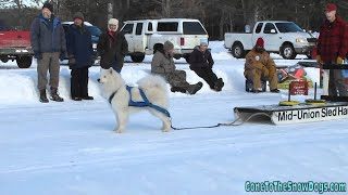 Singing Samoyed Dog Supposed To Be Pulling Weight, Instead He Sings For Us!