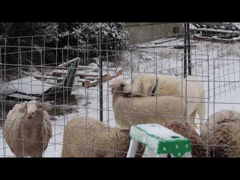 Akbash Livestock Guardian Dog Licking Katahdin Lamb