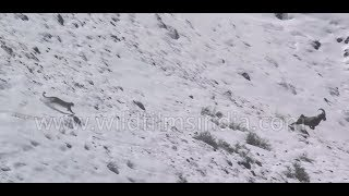 Snow Leopard incredible flight, fall and fight - rare footage from the Himalaya thumbnail