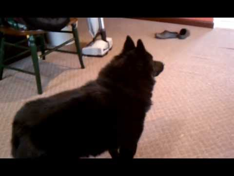 Schipperke barking