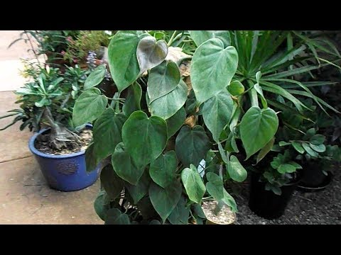 Houseplant Care: Philodendron Propagation (audio fixed)