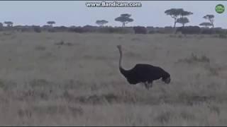 ~ STRUSIE AFRYKAŃSKIE i INNE ZWIERZĘTA ~  Afryka Safari