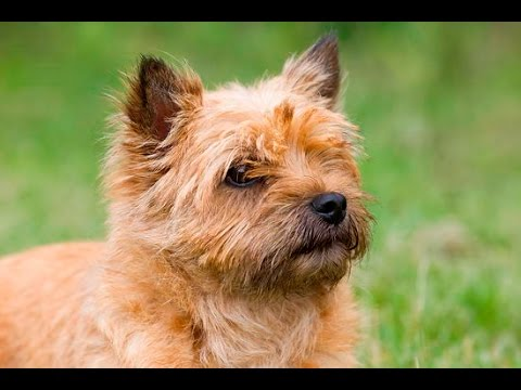Cairn Terrier - Dog Breed