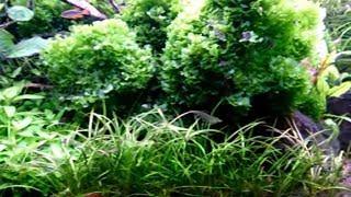 Креветки Амано думают что они рыбы / Кормление креветок / 160 л.
