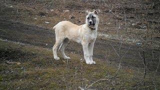 АЛАБАЙ - Гордая  и Добрая Собака!!!