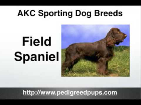 AKC Sporting Dog Breeds - Sporting Dogs - AKC Sporting Dogs