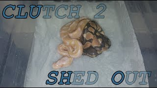 CLUTCH 2 SHED OUT thumbnail