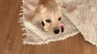 Как отучить щенка Лабрадора кусаться?