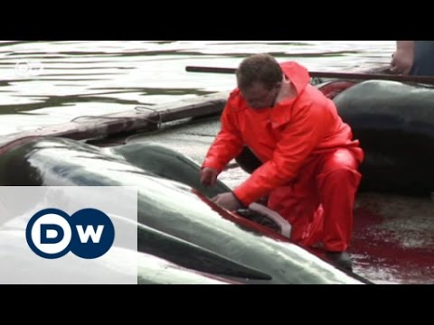 A bloody tradition on the Faroe Islands | Focus on Europe